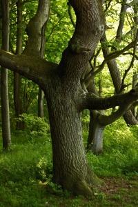 oak-412862_1280